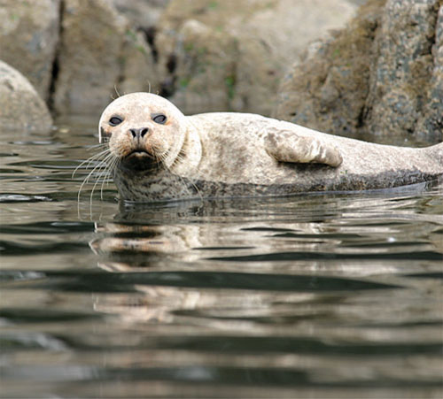 A seal lazily watches passing kayakers